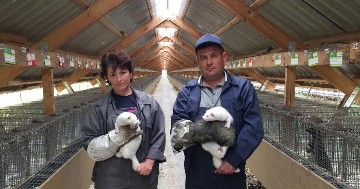 Украинских производителей пушнины выпихивают с мирового рынка руками зоозащитников