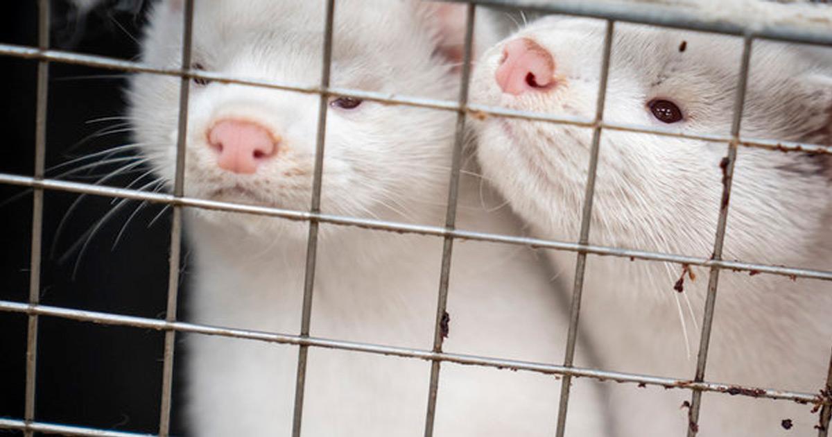 У Фінляндії розробляють вакцину проти коронавірусу для тварин